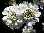 Perennial Candytuft (Iberis sempervirens)